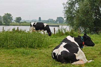 koeien_aan_nederrijn