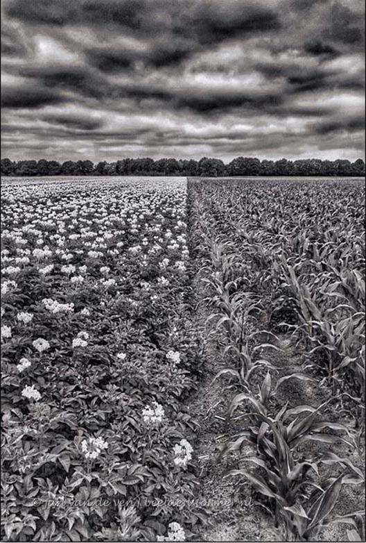 aardappelen_mais