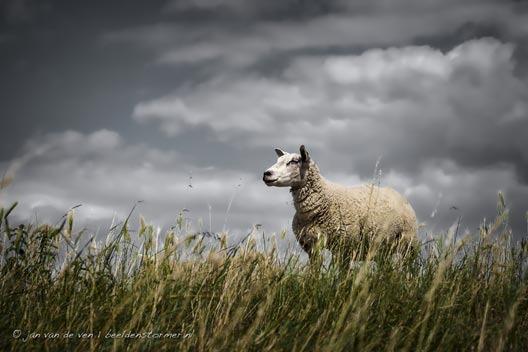 schaap_op_het_droge