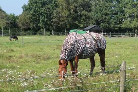 zebrapaard